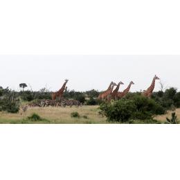 Zebre e giraffe