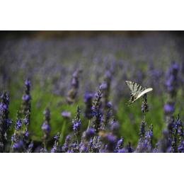 Farfalla e lavanda