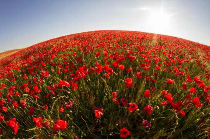 Estremamente Foto murale fiori e foglie | campo di papaveri | LivingDECO' HF01