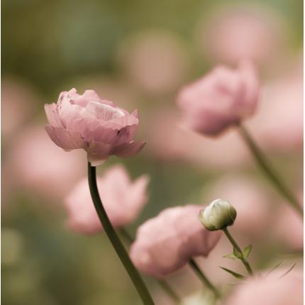 Fotomurali Fiori & Foglie -  Ranuncoli Rosa