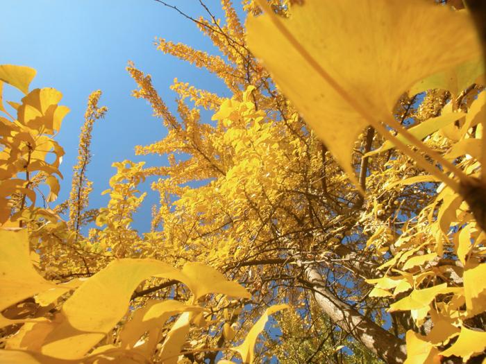 Infinite foglie gialle