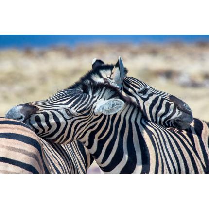 Zebre in love