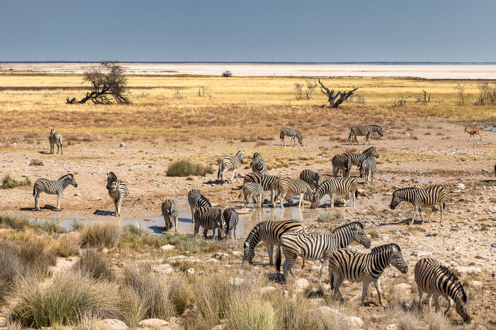 Zebre nella savana