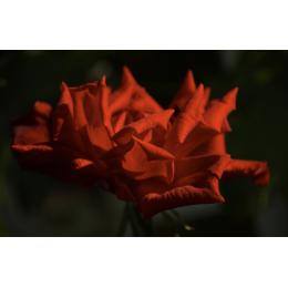 Petali rossi