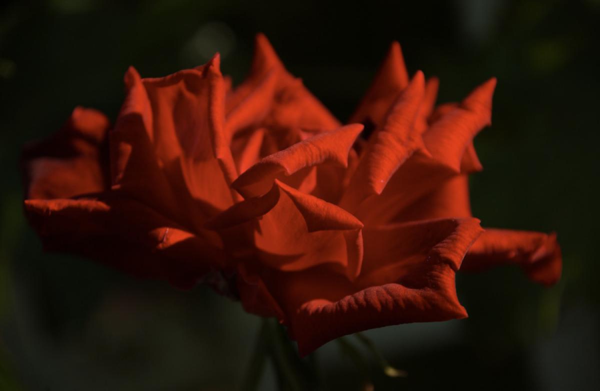 Stampa su tela fiori rosa rossa livingdeco