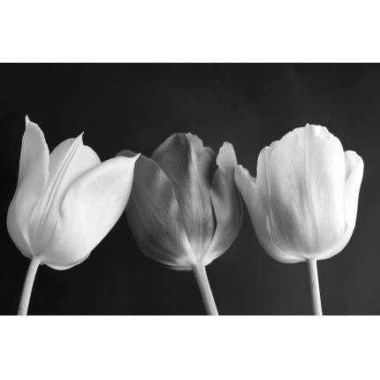 Tulipani in bianco e nero