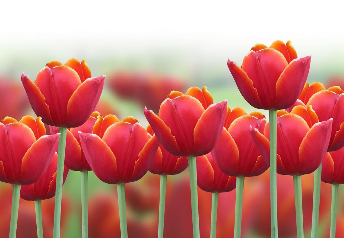 Stampa su tela tulipani arancioni, gialli e rossi | LivingDECO\'