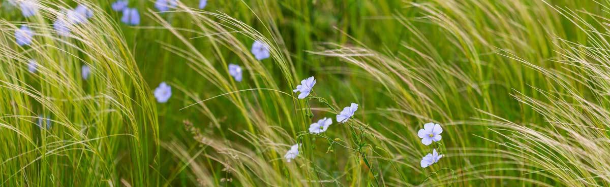 Le piante di lino della Lithuania dove la tradizione per i tessuti ha origini lontane